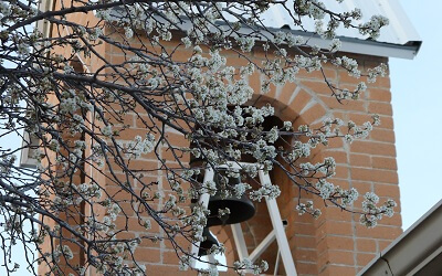20190306 SantaRitaAbbey spring flowers pear tree (5hp) 400 x 250