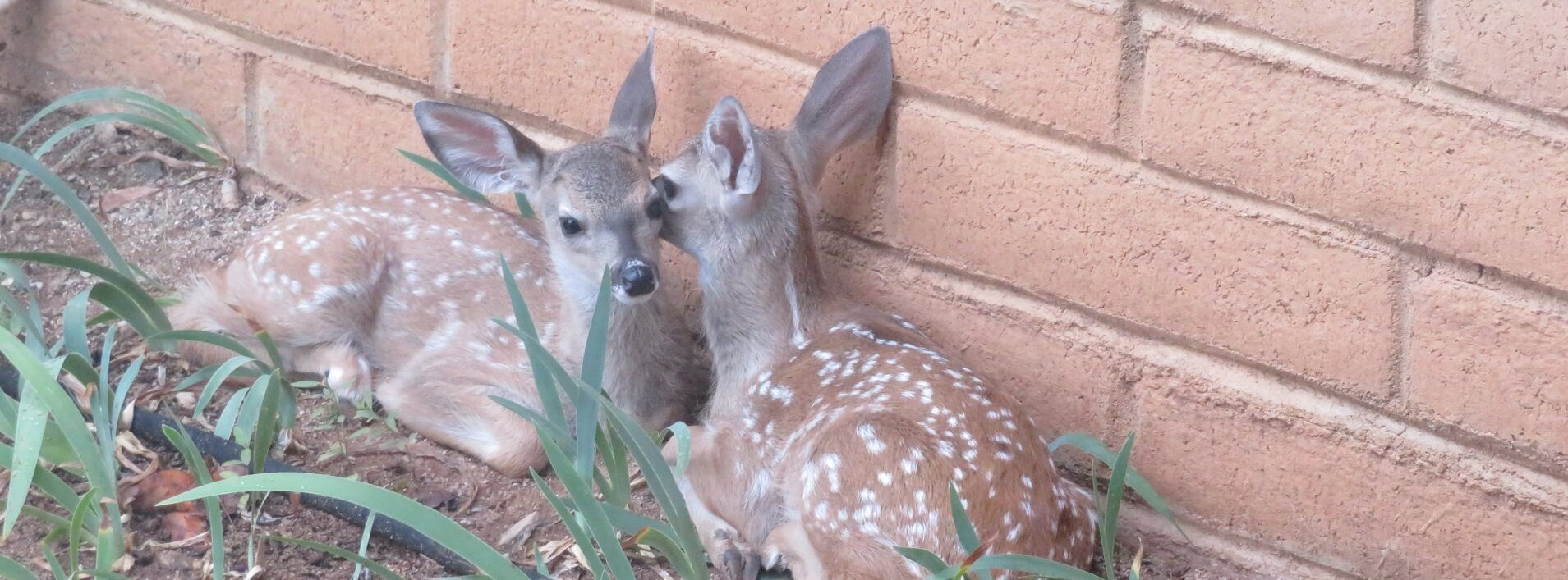 Image 2 – 2019 07 deer twins – copy