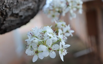 20190308 SantaRitaAbbey spring flowers pear tree (13hp) 400x250