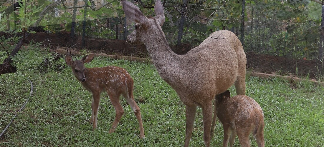 A doe with 3-week old twin fawns stands outside the monastery window.